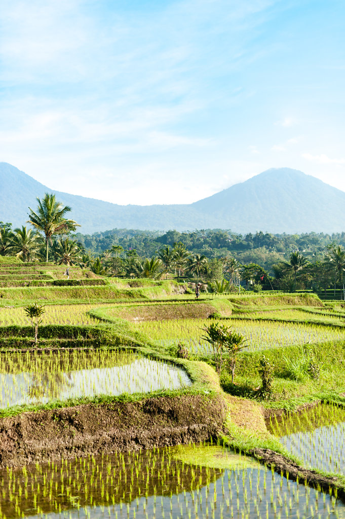 Ricefield (Bali - Indonesia))